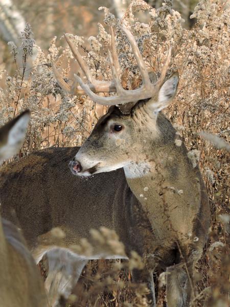 Whitetail Swan Creek 10-Point Buck (61)