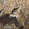 Whitetail Swan Creek 10-Point Buck (61)