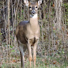 Whitetail Swan Creek Doe (9)