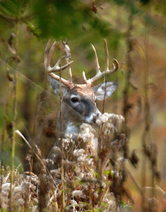 Whitetail 10 Point Buck 136