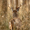 Whitetail 11 Point Buck 089