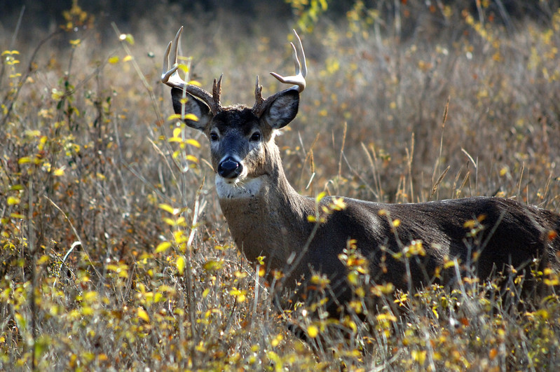 Whitetail Sidecut Bucks VI 006