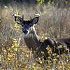 Whitetail Sidecut Bucks VI 006
