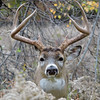 Whitetail Buck (7 -Point) (7)