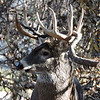 Whitetail Buck (12-Point) (44)