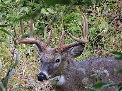 Whitetail Sidecut 10-Point Buck (10)