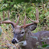Whitetail Sidecut 10-Point Buck (10)