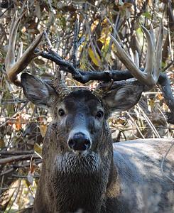 Whitetail Buck (12-Point) (30)