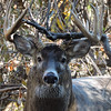 Whitetail Buck (12-Point) (30)