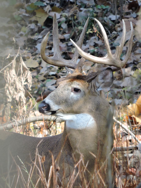 Whitetail Buck (9-Point Tall) (24)