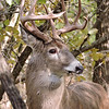 Whitetail Buck (10-Point) (112)