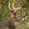 Whitetail (Buck - 13 Point) (18)