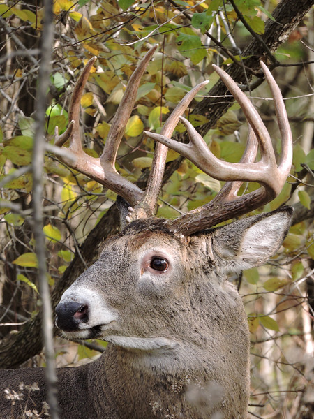 Whitetail Buck (10-Point) (106)