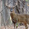 Whitetail Swan Creek 8- Point Buck (23)