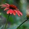 Cone Flower (8)