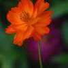 Cosmos (Orange)(33)