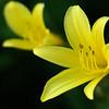Daylily (Yellow) (28)
