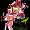 Lily-Pink Stargazer (9)