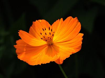 Cosmos (Orange) (2)