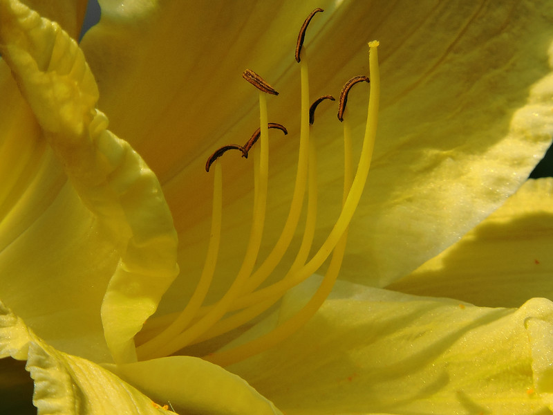 Daylily (Mary Todd) (11)