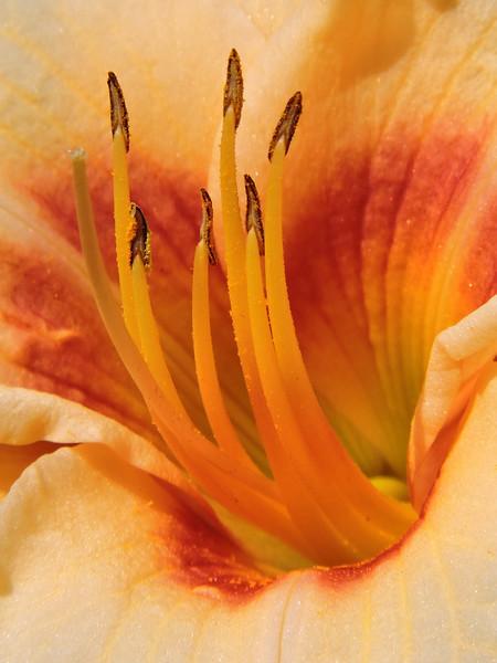 Daylily (Yellow) (7)