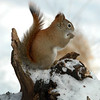 Squirrel (Red) 026