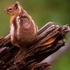 Golden Mantled Squirrel #008
