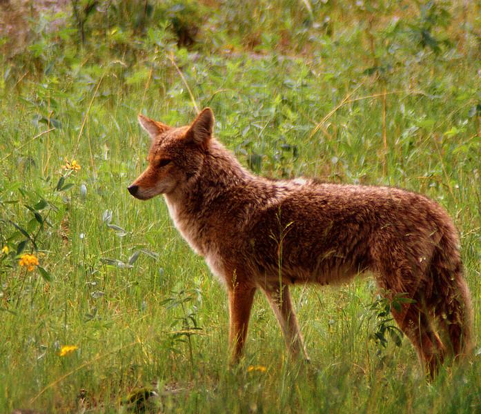 Coyote #004