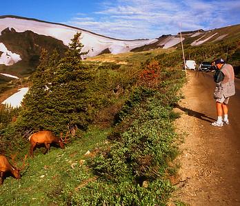 Bull Elk with BP #018