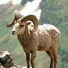 Glacier N  P  Big Horn Sheep 003