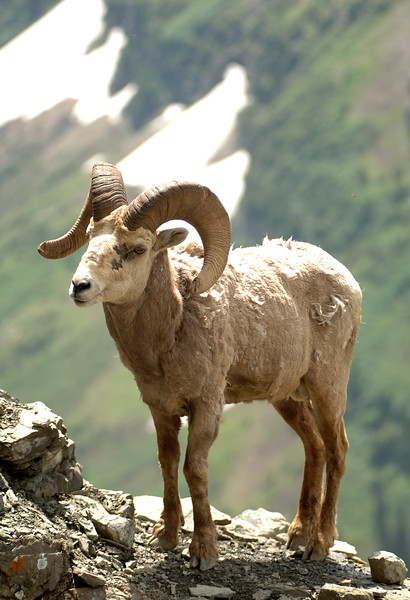 Glacier N  P  Big Horn Sheep 003