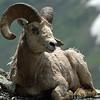 Glacier N  P  Big Horn Sheep 025
