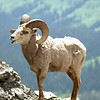 Glacier N  P  Big Horn Sheep 012