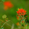 Indian Paintbrush 001