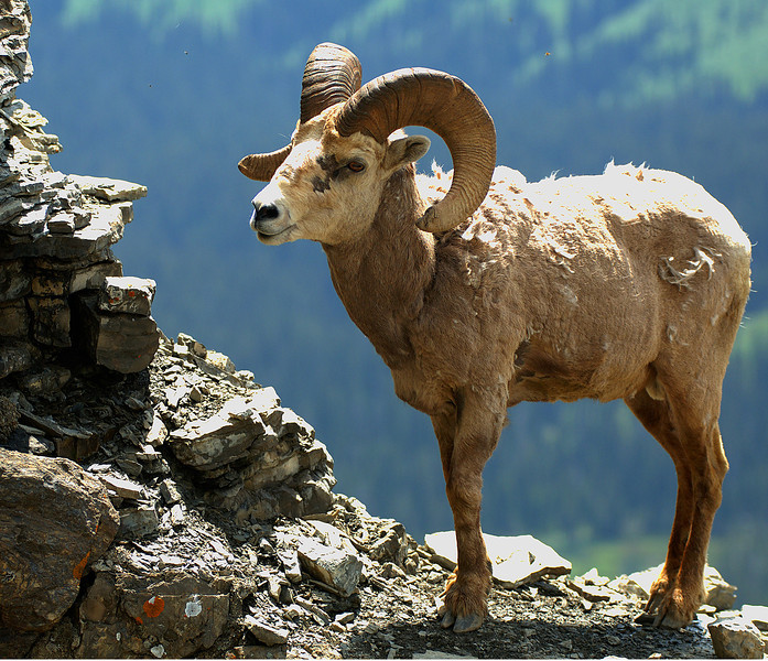 Big Horn Sheep 010