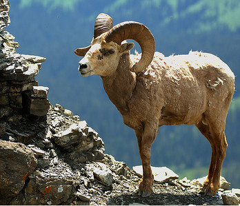 Big Horn Sheep 010