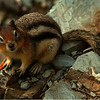 Golden Mantle Squirrel 001