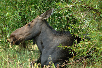 Grand Teton N P  Cow Moose (Gros Ventre) 007