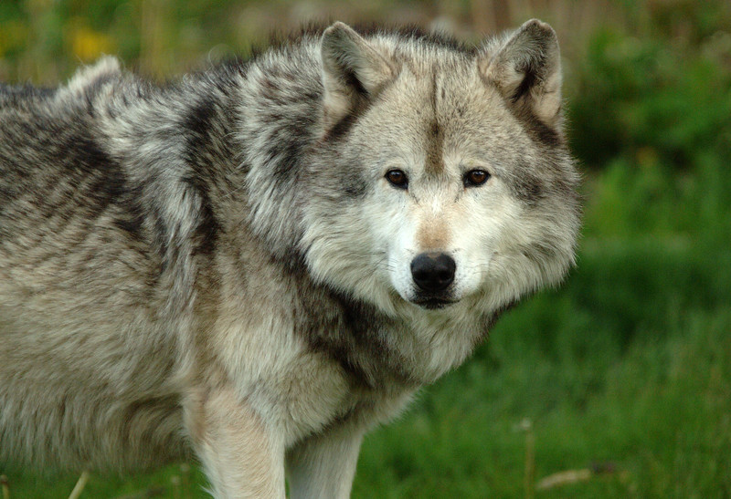 Timber Wolf 019
