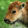 Yellowstone Bison Calf 006