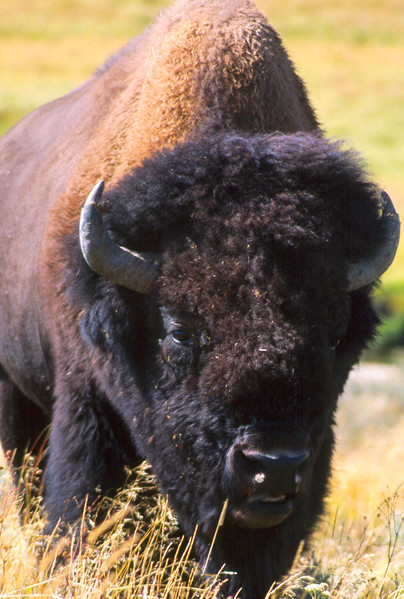Yellowstone Bison-1