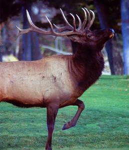 Mammouth Elk #022