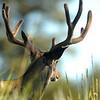 Yellowstone Mule Deer (4)