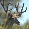 Yellowstone Mule Deer (6)