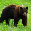 Yellowstone Black Bears 014