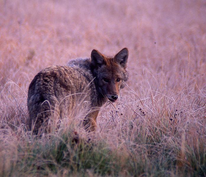 Norris Coyote #001