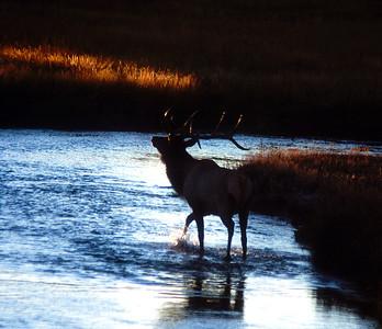 Norris Elk #041