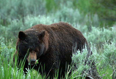 Yellowstone Black Bears 020