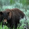 Yellowstone Black Bears 020