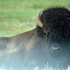 Yellowstone Bison 004